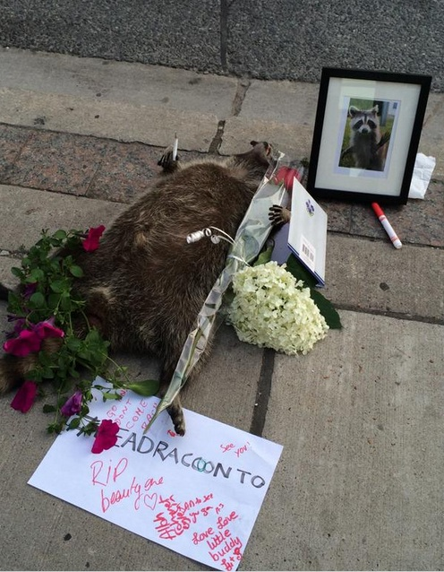 10 Reasons Why #DeadraccoonTO Became a National News Story in One Day